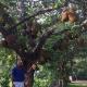 মুছার কাঁঠাল বাগানে গাছে গাছে শতাধিক কাঁঠাল