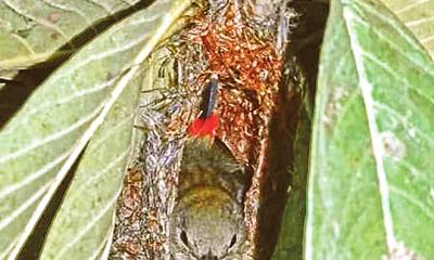 লালপিঠ ফুলঝুরি