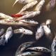 শত্রুতার জেরে পুকুরে বিষ, ভেসে উঠলো লক্ষাধিক টাকার মাছ