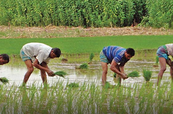 কুমিল্লায় আউশ আবাদে ব্যস্ত কৃষক