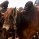 কোরবানি: ঈদের বাজারের জন্য গরু পালন করার জন্য যা জানা জরুরি