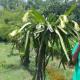 চট্টগ্রামের হাটহাজারীতে বাণিজ্যিকভাবে ড্রাগন চাষের উজ্জ্বল সম্ভাবনা