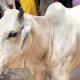 জম্মু-কাশ্মীরে কোরবানির পশু জবাই নিয়ে বিতর্ক