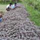জাজিরায় আগাম বর্ষকালীন সবজির আবাদ করে বেশি লাভবান হচ্ছেন কৃষক জাজিরায় আগাম বর্ষকালীন সবজির আবাদ করে বেশি লাভবান হচ্ছেন কৃষক