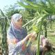 ড্রাগন চাষে সফল রংপুরের নারী কৃষি উদ্যোক্তা