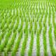 পিরোজপুরে ৬০ হাজার ১৯৫ হেক্টর জমিতে আমন চাষের লক্ষ্যমাত্রা নির্ধারণ