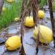 মরুর ফল 'রক মেলন' চাষে ফেনীতে কৃষকের সাফল্য