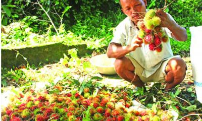 রামবুটান চাষে সম্ভাবনার দুয়ার খুলছে রাঙামাটিতে