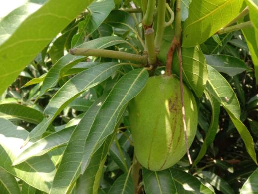 চাঁপাইনাবাবগঞ্জে নতুন জাতের আম 'স্যান্ডি
