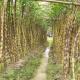 চৌদ্দগ্রামে লক্ষ্যমাত্রা ছাড়িয়েছে আখচাষ বাম্পার ফলনে কৃষকের মুখে হাসি