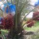 দেশের লবণাক্ত জমিতে সৌদির খেজুর, দুই বছরেই ধরেছে ফল