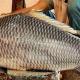 পদ্মার কাতলা, ১৮ কেজি মাছ নিয়ে কাড়াকাড়ি, দাম উঠল অবিশ্বাস্য