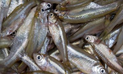 পুকুরে মলা মাছ চাষের সহজ পদ্ধতি শিখে নিন