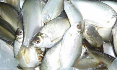 পেংবা মাছ চাষ করে অধিক উপার্জন করুন
