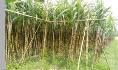 বাঘারপাড়ায় আখ চাষীদের ভাগ্যবদলের স্বপ্ন