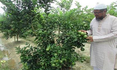 বিদেশি জাতের মাল্টা বাণিজ্যিকভাবে চাষ হচ্ছে জয়পুরহাটে