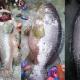 বড়শিতে ধরা ৯০ কেজির বোল মাছ ৬০ হাজার টাকায় বিক্রি