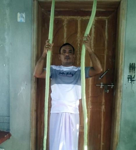 মনপুরায় ১০ ফুট লম্বা চিচিঙ্গা