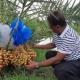 রামপালে লবণাক্ত মাটিতে সৌদির খেজুর চাষে সফল আইনজীবী