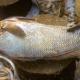 কোটি টাকায় বিক্রি হলো ঘোল মাছ