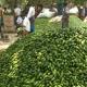 কুমিল্লার চান্দিনায় পটল চাষে কৃষকের সাফল্য