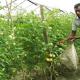 কুমিল্লায় বারোমাসি টমেটো চাষে শাওনের স্বপ্ন