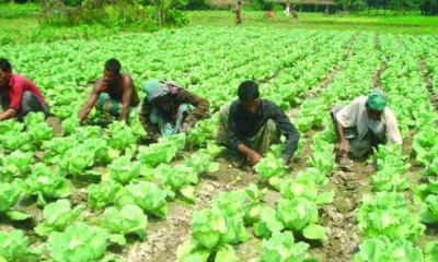 কৃষকের মাঠে শরতেই হেমন্তের আবহ