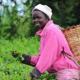 কেনিয়ার চা রফতানি বাড়লেও কমেছে উৎপাদন
