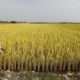 চলতি বছর দক্ষিণ কোরিয়ার চাল উৎপাদন ৯% বাড়বে