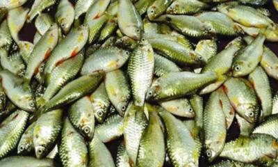 জেনে নিন পুকুরে পুঁটি মাছ চাষে কিভাবে হবেন লাভবান