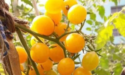 দেশে ফলবে জাপানি হলুদ চেরি টমেটো
