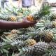 নরসিংদীতে জলডুগি আনারসের চাষ বাড়ছে