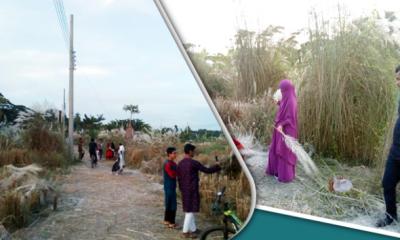 প্রকৃতির সৌন্দর্য বাড়াচ্ছে কায়েদ পল্লির কাশফুল