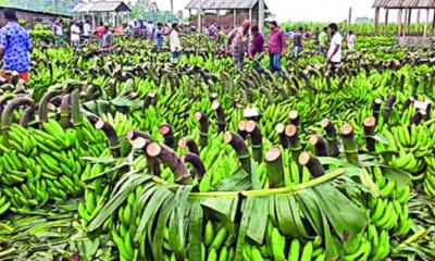 বৃহৎ কলার হাট দিনাজপুরে