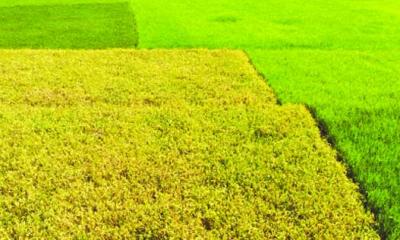 বেশি ফলন, বন্যাসহনীয় আগাম আমন বীনা-১১ চাষে ঝুঁকছেন কৃষক