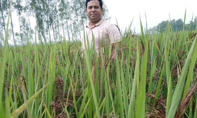 ব্লাক রাইস চাষ করছেন সিঙ্গাপুরফেরত সোহাগ