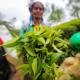 ভারতে চা উৎপাদন ১৮ শতাংশ বেড়েছে