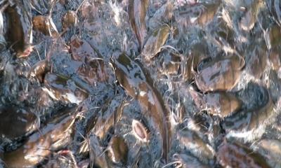 মাগুর মাছ চাষ করে বিপুল অর্থ উপার্জন করুন