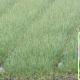 রসুনের চাহিদা মেটাবে 'বিডি নিরা