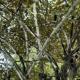 লাক্ষা চাষ: অর্থকরী এই ফসলের বহুল ব্যবহার থাকলেও লাক্ষার চাষ বাংলাদেশে কমছে কেন