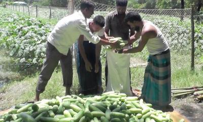 সর্জন পদ্ধতিতে সবজি চাষ, নোয়াখালীর কৃষকদের সফলতা